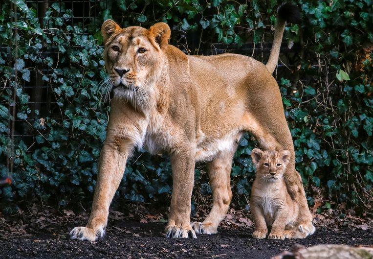 Een Aziatische leeuwin met haar welp in Planckendael. Dit is niet de doodgeschoten leeuwin Rani. Beeld REUTERS