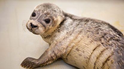 Sea Life vangt eerste zeehondje van zomerseizoen op: kleintje van vier weken oud speelde mama kwijt