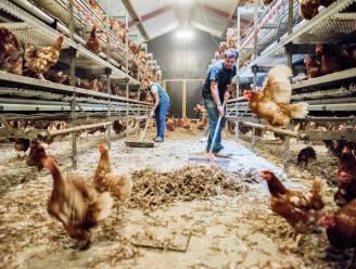 Hof geeft kippenboeren ongelijk in zaak over fipronilschandaal