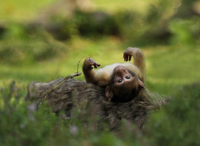 Een doodshoofdaapje ligt languit. Compleet uitgeteld tijdens een tropische dag in Apenheul in Apeldoorn. Het park, dat in 1971 werd geopend, was het eerste ter wereld waar apen en publiek dezelfde ruimte deelden.