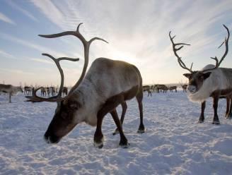 Rendieren sterven door honger aan Noordelijke IJszee