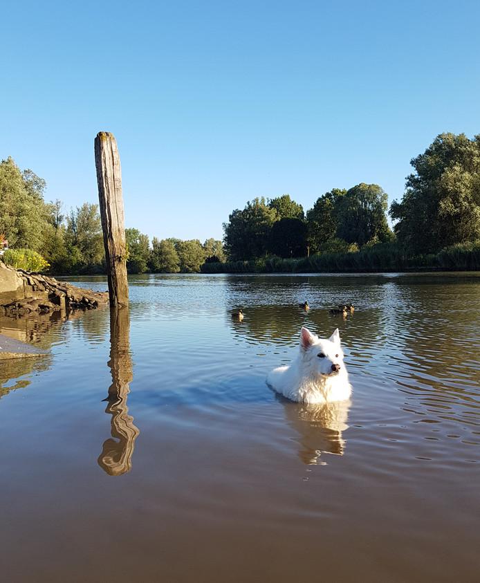 Hond Taika, een dertien jaar oude, witte herder vindt verkoeling in het water van het Wantij.