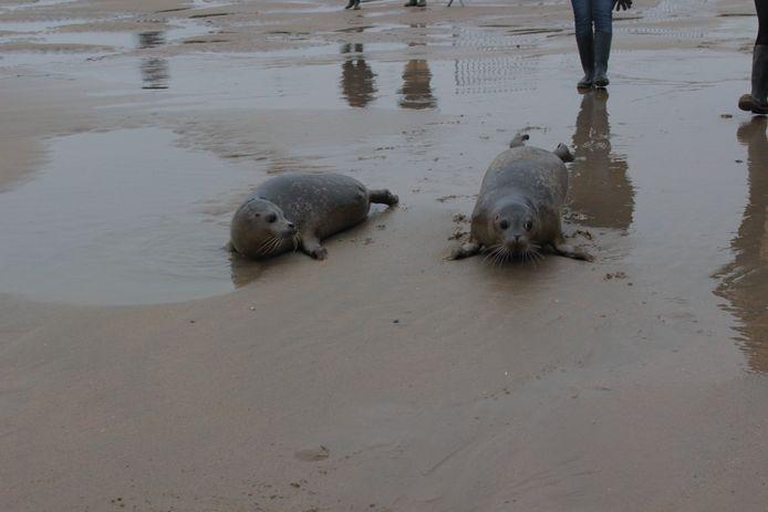 Oscar et Groovy, mardi, sur la plage, à Blankenberge