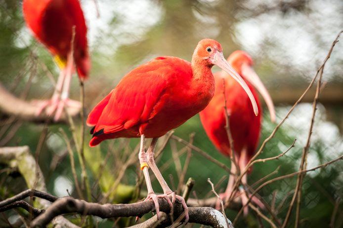Rode ibissen.