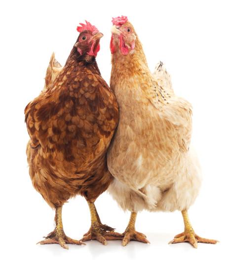 9 kippen onthoofd en meegenomen uit dierenweitje in Brabant: 'Iemand wilde hier een kerstmaal van maken'