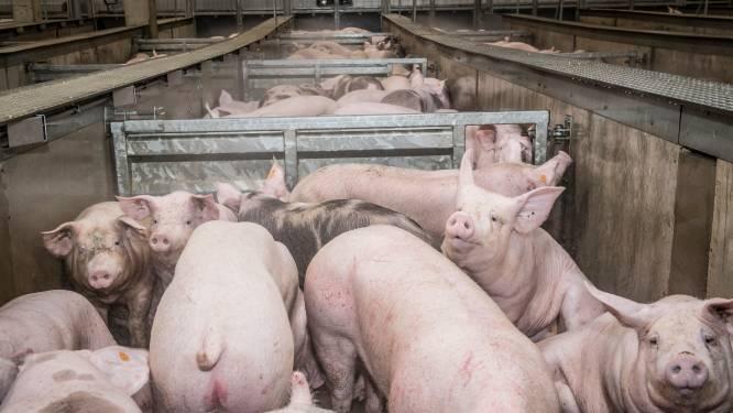 Tot 2,4 miljoen varkens kunnen geslacht in omstreden slachthuis van Tielt: Animal Rights gaat in beroep tegen uitbreiding