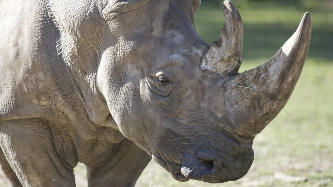 Stropers dringen Franse zoo binnen, doden neushoorn en snijden hoorn af met kettingzaag