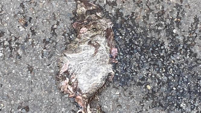 Ratten liggen platgereden op straat en knabbelen vuilniszakken kapot: inwoonster eist oplossing voor aanhoudende problematiek