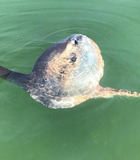 Zeldzame levende maanvis gespot in Waddenzee