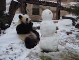 Russische panda vermaakt zich met ijskoud speelmaatje