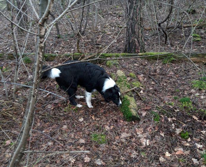 Tycho, de hond van Henny uit Schaijk, werd gestolen terwijl ze hem uitliet.