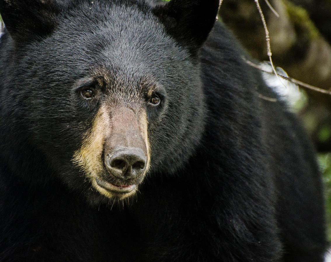 L'ours n'a pas encore été retrouvé. Si c'est le cas, il sera euthanasié (illustration)
