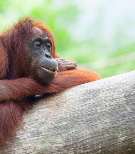 Inventieve orang-oetan bouwt hangmat met deken