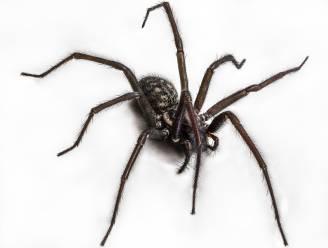 Spinnen 'horen' ons praten met hun poten