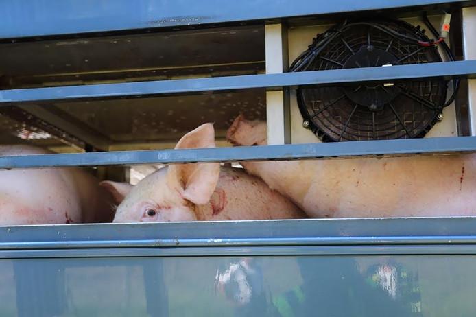 Varkens in de vrachtwagen.