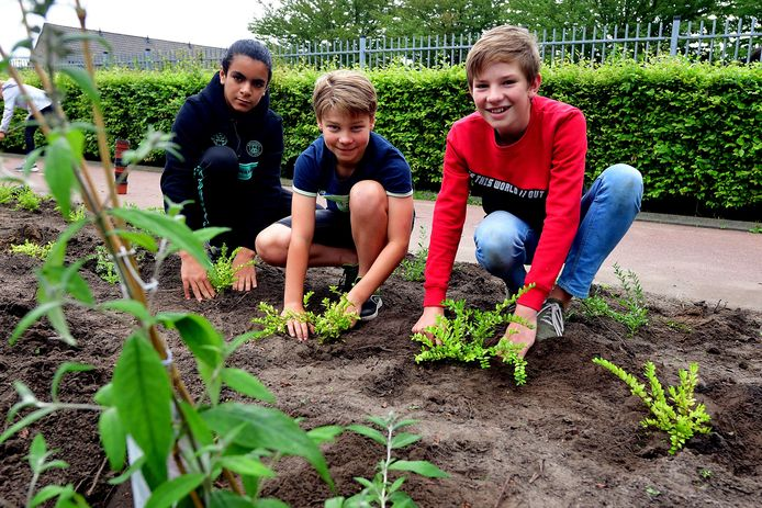 Redouane (11) en Sil (11) en Daniël (12) planten nieuwe bosjes aan, die níet prikken.