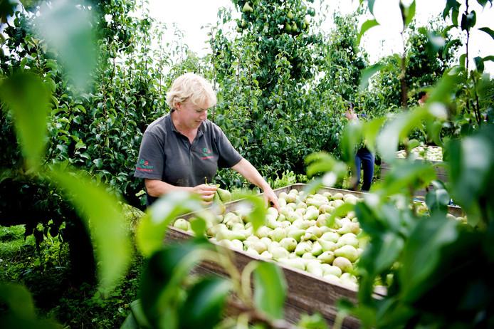 Fruitbedrijf Theunissen-Peters is nu met de perenpluk en appelpluk bezig .