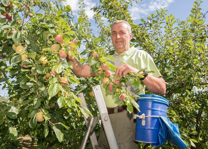 Ko Hannewijk plukt zijn pruimen: 'Dit jaar zijn de pruimen prachtig van formaat, en de smaak is uitstekend.'