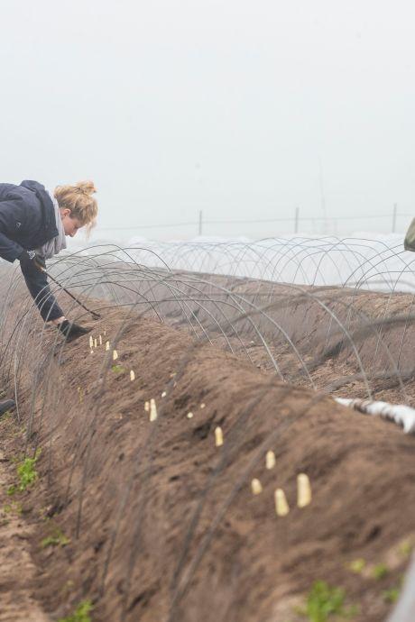 Het witte goud uit de Otterlose grond is klaar voor de oogst