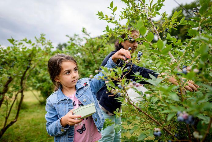 Isabella (5) is samen met oma Gule (55) aan het plukken bij bosbessenplukkerij La Francaise.