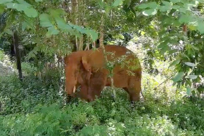 De eenzame mannetjesolifant leefde al een maand afgezonderd van de kudde.