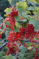 Rode aalbessen zijn ideaal om confituur van te maken.