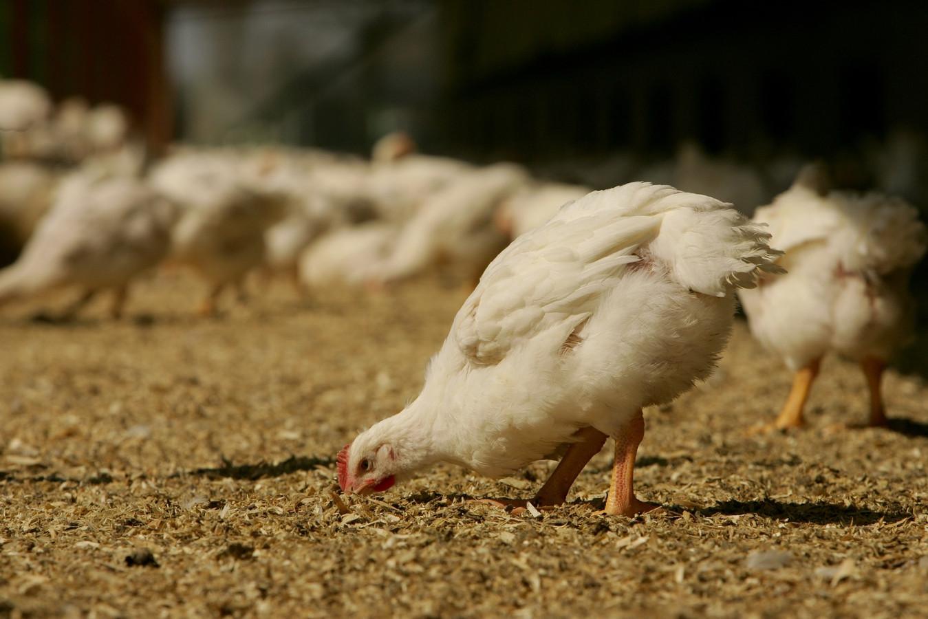 Een kip met een beter leven krijgt een ster.