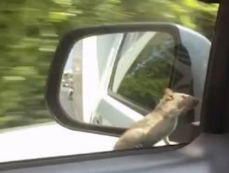 Deze rat heeft duidelijk een ritje nodig naar ergens