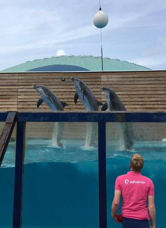 Drie mannetjesdolfijnen in het DolfijndoMijn.