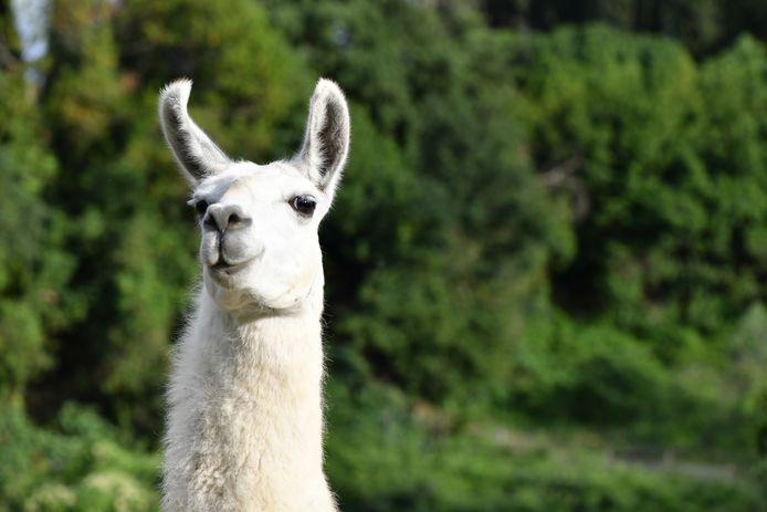 Vanaf nu kun je videobellen met een lama of geit
