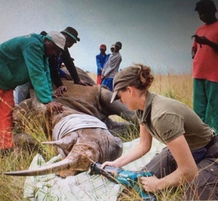 Dierenarts Martine van Zijll Langhout zaagt de hoorn van een verdoofde neushoorn eraf, zodat het risico dat dit beest door stropers wordt geschoten veel kleiner is. Beeld Brent Sirton