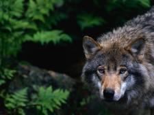 Wolf tien keer gespot in de omgeving van natuurgebied de Groote Heide