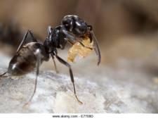 Nieuwe insectenplaag in aantocht: het draaigatje