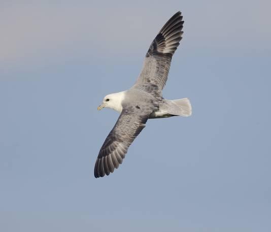 De noordse stormvogel komt ook aan onze kust voor.
