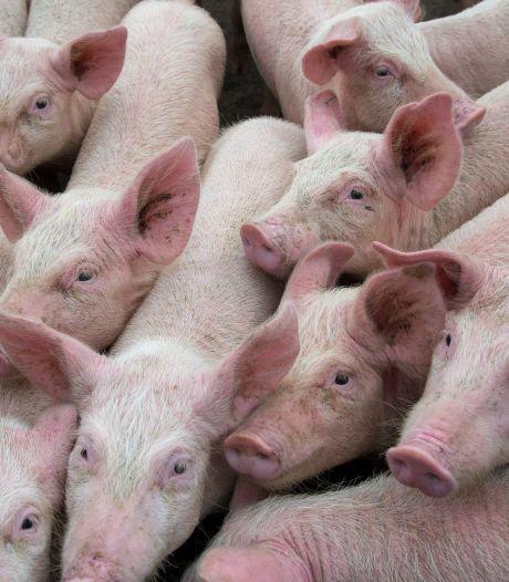 Ook vragen bij varkensbedrijf Elsendorp