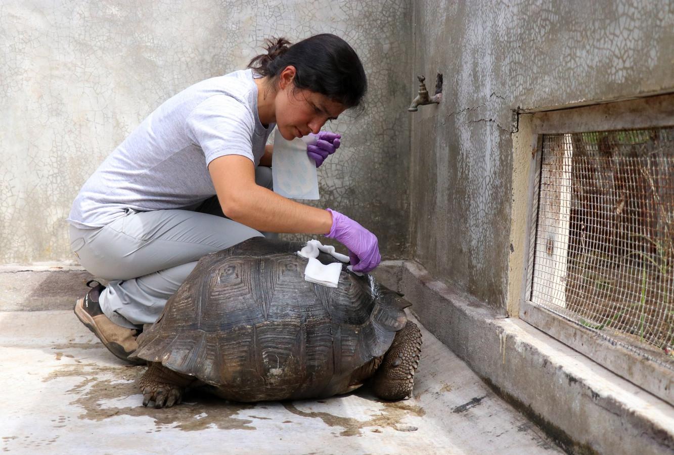 Het schildpad wordt verzorgd door medewerkers van het Parque Nacional Galápagos.