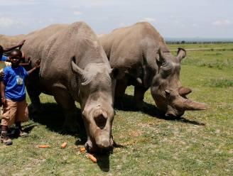 Eén van de twee laatste noordelijke witte neushoorns ter wereld moet uit de race stappen om soort te redden