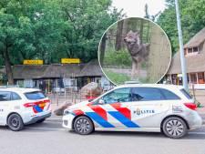 Zo ontsnapten de twee wolven uit DierenPark Amersfoort: 'Echt het gevoel dat we gevaar liepen'
