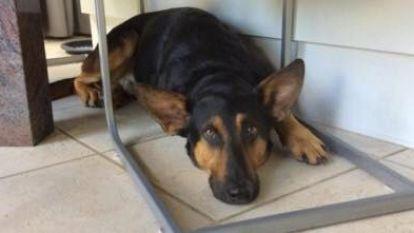 Herdershond Bo eet vergif tijdens wandeling en sterft op weg naar dierenkliniek
