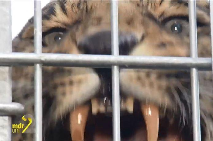 Einer der Leoparden.
