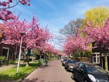 Japanse taferelen in Enschede: bloesemlaan volledig in bloei