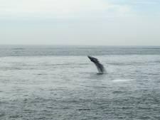 Walvis bij Rotterdam naar open zee getoeterd