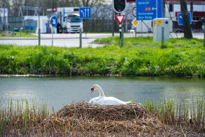 Broedende vogels vandaag gespot in het Groene Hart: een zwanennest achter het Texaco pompstation aan de M.A. Reinaldaweg in Woerden.
