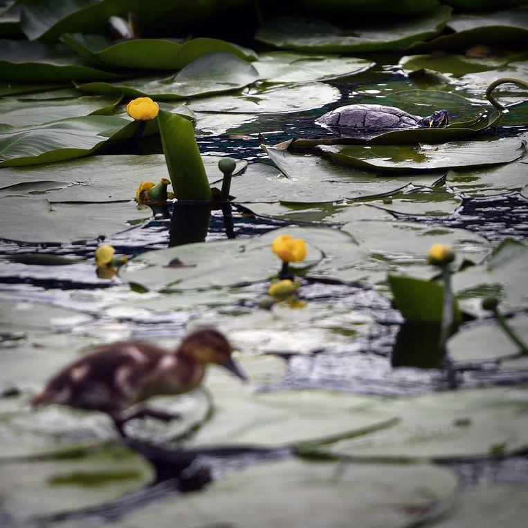 Een schildpad in een stadsvijver in Leidschendam. Beeld Marcel van den Bergh / de Volkskrant