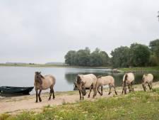 Grazers kunnen van provincie in vervuilde uiterwaarden blijven