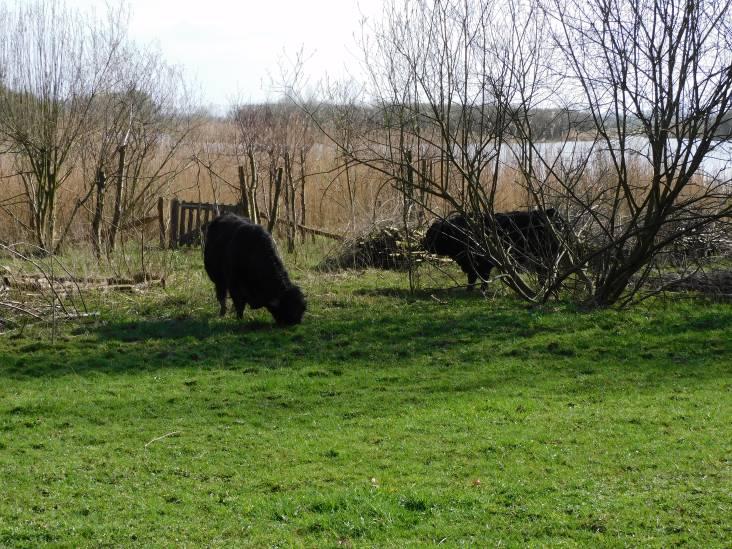 Een rondje Amerongse Berg: Gallowaystieren en wintertalingen op Stille Zaterdag
