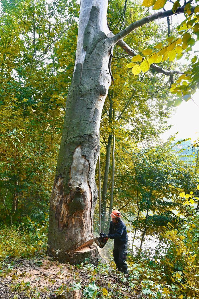 De beuk is een van de bomen waarvan het hout gebruikt wordt voor een onderkomen voor de Bolwerkers en de Torentuin.