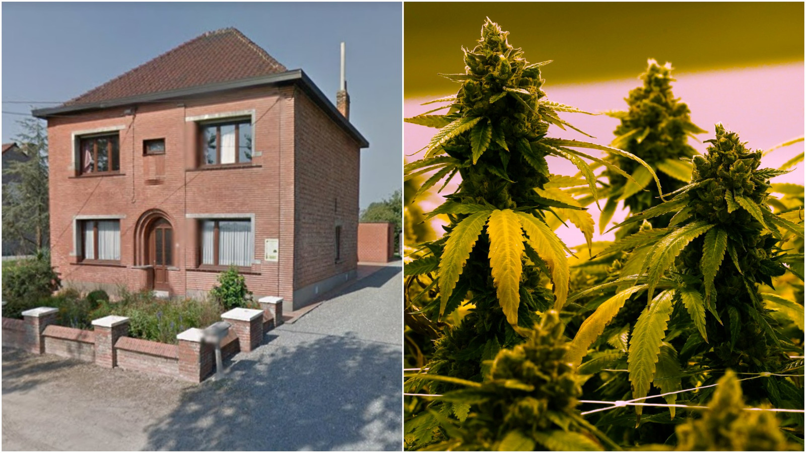 Het koppel had 800 planten in hun woning in Putte