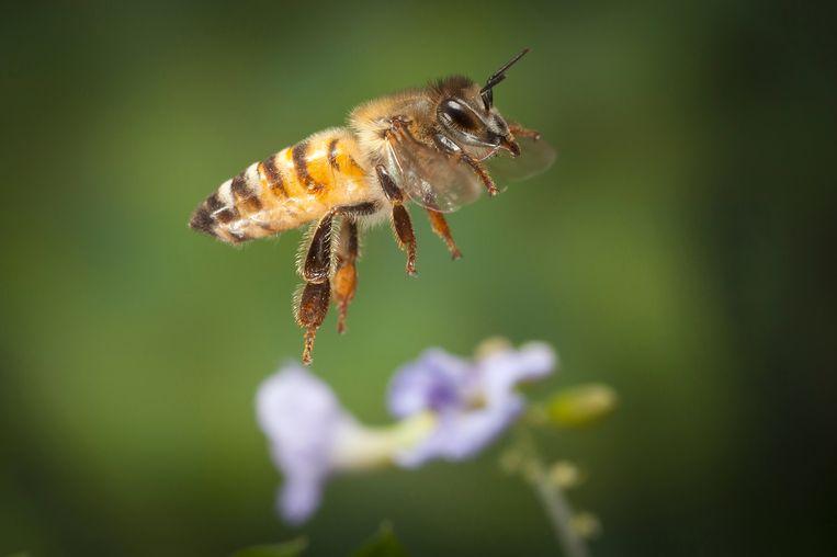 In tal van Amerikaanse films speelt de honingbij een hoofdrol als killer bee. Beeld