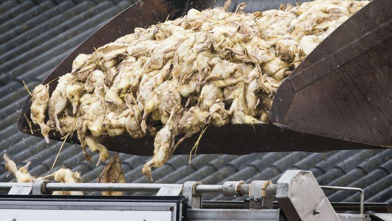 Bij het eendenbedrijf in Kamperveen werden ruim 15.000 eenden geruimd Beeld ANP